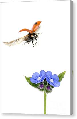Two Spot Ladybug Canvas Print by Mark Bowler