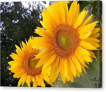 Two Sunflowers Canvas Print by Ashley Thompson