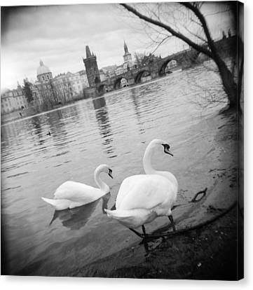 Two Swans In A River, Vltava River Canvas Print by Panoramic Images