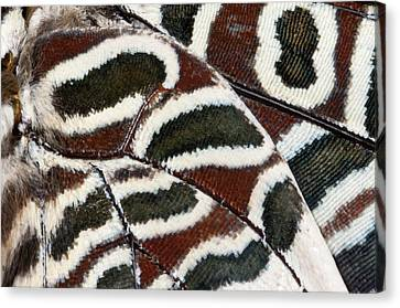 Two-tailed Pasha Butterfly Canvas Print by Nigel Downer