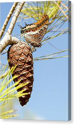 Two-tailed Pasha (charaxes Jasius) Canvas Print by Photostock-israel