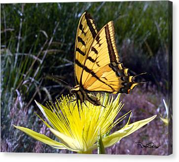 Two-tailed Swallowtail Canvas Print by David Salter