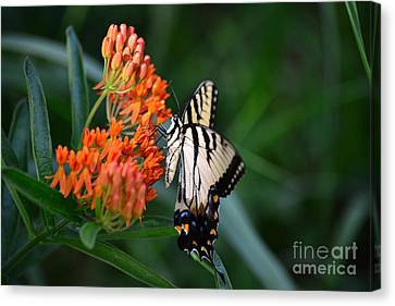 Two-tailed Swallowtail Canvas Print by Holden Parker