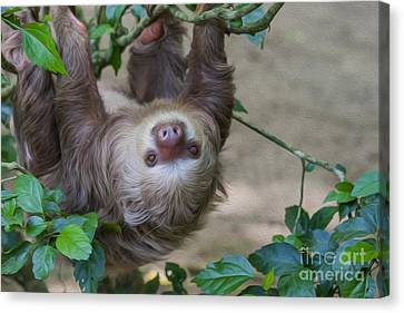 Two Toed Sloth Hanging In Tree Canvas Print