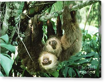 Sloth Canvas Print - Two-toed Sloths by Gregory G. Dimijian