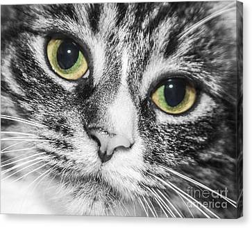 Two Toned Cat Eyes Canvas Print