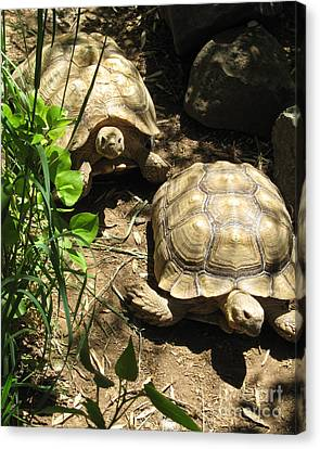 Two Tortoises Canvas Print by CML Brown