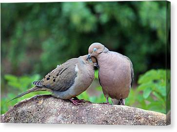 Two Turtle Doves Canvas Print by Cynthia Guinn