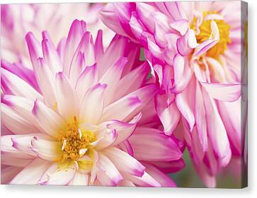 Two White And Pink Decorative Dahlias Canvas Print by Daphne Sampson