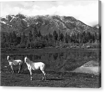 Two White Horses By A Pond Canvas Print