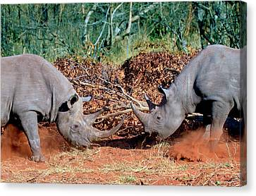 Two White Rhinoceros, Square Lipped Canvas Print by Miva Stock