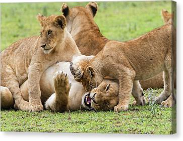 Two Young Lion Cubs Playfighting While Canvas Print