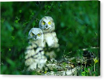 Two Young Owls Canvas Print by Jeff Swan