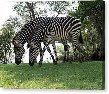 Two Zebras Eating Grass At Royal Canvas Print by Panoramic Images