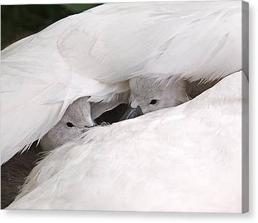 Nestled With Love Canvas Print - Two's Company by Gill Billington