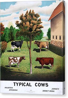 Typical Cows  Canvas Print