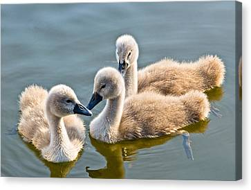 Ugly Ducklings Canvas Print by Scott Carruthers