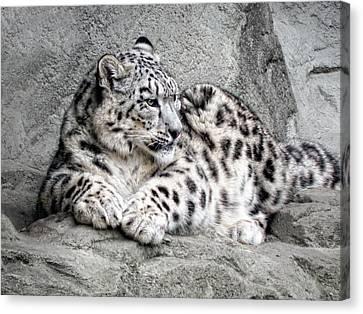 Leopard Canvas Print - Uncia Uncia by Joachim G Pinkawa