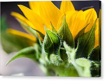 Under A Sunflower Canvas Print