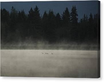 Ducklings Canvas Print - Under Cover by Aaron Bedell