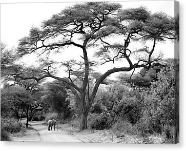 Elephants Canvas Print - Under The Acacia by Jorge Llovet