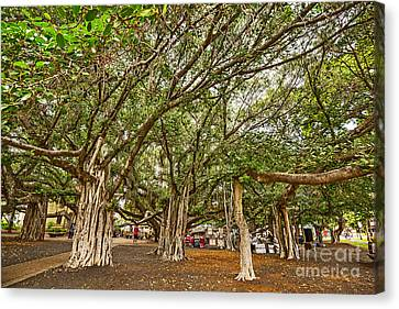 Under The Canopy - Banyan Tree Park In Maui. Canvas Print