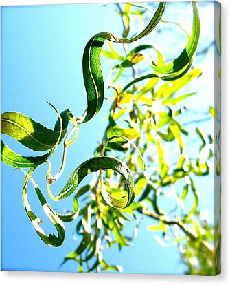 Under The Curly Willow Tree Canvas Print by Tracy Male