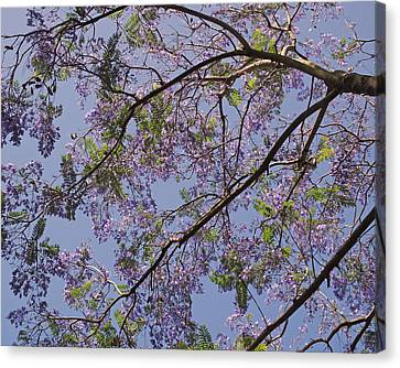 Under The Jacaranda Tree Canvas Print by Rona Black