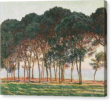Under The Pines. Evening Canvas Print by Claude Monet