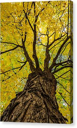 Under The Yellow Canopy Canvas Print by Debra Martz
