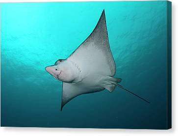 Underside Of Spotted Eagle Ray Canvas Print