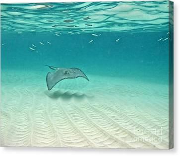 Underwater Flight Canvas Print by Peggy Hughes