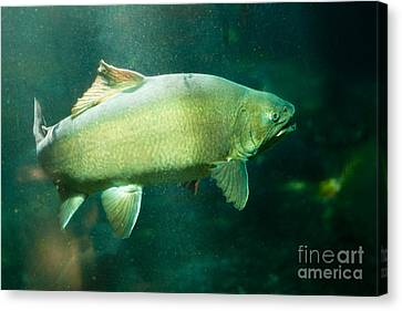 Underwater Shot Of Trophy Sized Tiger Trout Canvas Print by Stephan Pietzko