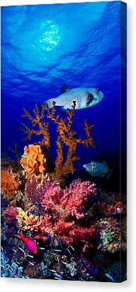 Underwater View Of Bristly Puffer Fish Canvas Print by Panoramic Images