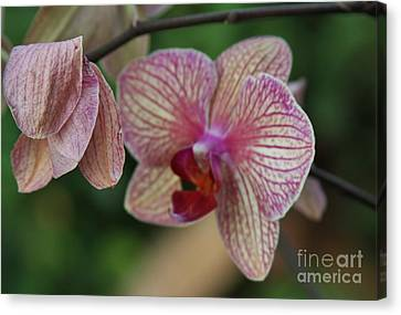 Unfolding Bloom Canvas Print by Butch Phillips