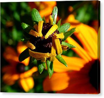 Coneflower Canvas Print - Unfolding by Rona Black