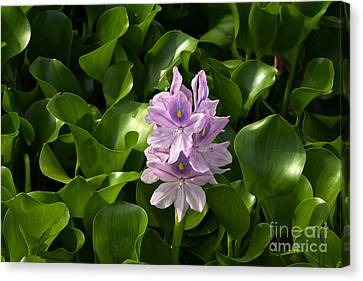 Unmanageable Beauty The Water Hyacinth Canvas Print by Byron Varvarigos