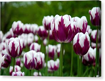 Unusual Tulips Canvas Print by Jennifer Ancker