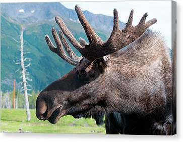 Up Close And Personal With A Moose Canvas Print