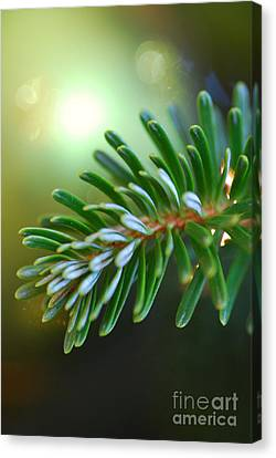 Up Close Evergreen Branch Canvas Print