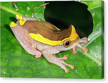 Upper Amazon Treefrog Canvas Print by Dr Morley Read