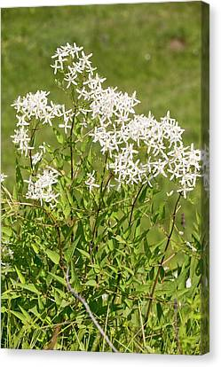 Romania Canvas Print - Upright Clematis (clematis Recta) by Bob Gibbons