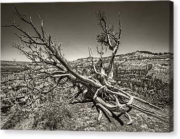 Canvas Print featuring the photograph Uprooted - Bryce Canyon Sepia by Tammy Wetzel