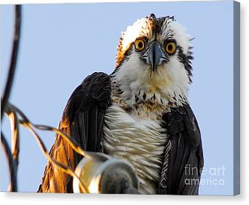 Urban Osprey Canvas Print