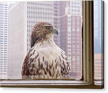 Canvas Print featuring the photograph Urban Red-tailed Hawk by Rona Black
