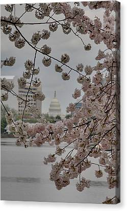 Us Capitol - Cherry Blossoms - Washington Dc - 01137 Canvas Print by DC Photographer