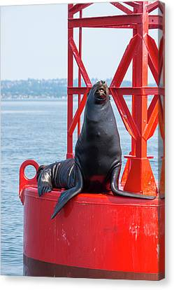Us, Wa Puget Sound, California Sea Lion Canvas Print by Trish Drury