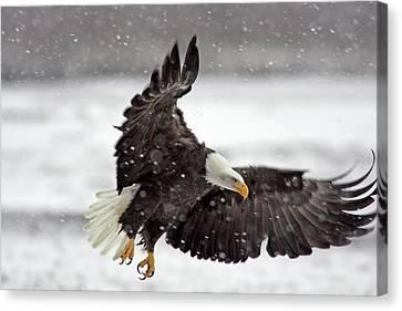 Usa, Alaska, Alaska Chilkat Bald Eagle Canvas Print by Jaynes Gallery
