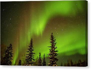 Usa, Alaska Aurora Borealis Over Spruce Canvas Print