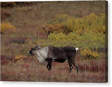 Gerry Canvas Print - Usa, Alaska, Bull Caribou, Denali by Gerry Reynolds